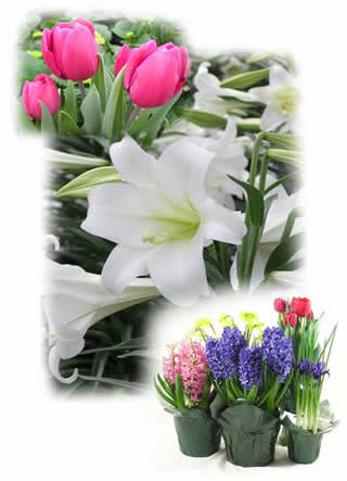 Chicago Wholesale Plants Annuals Perennials Easter Lilies