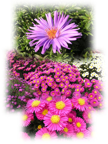 aster collage