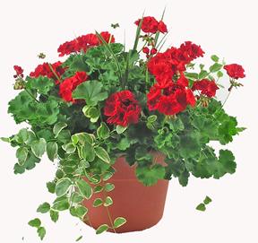 geranium tub front